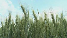 Oreilles de champ de blé de blé et de jour ensoleillé lumineux banque de vidéos