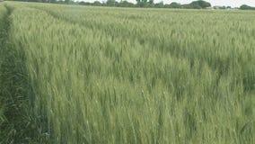 Oreilles de champ de blé de blé et de jour ensoleillé lumineux clips vidéos