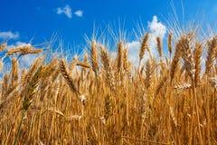 Oreilles de champ de blé Photographie stock libre de droits