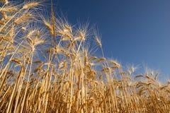 Oreilles de fin d'or de blé  photographie stock libre de droits