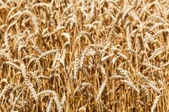 Oreilles de fin mûre de blé dans le domaine Photographie stock libre de droits