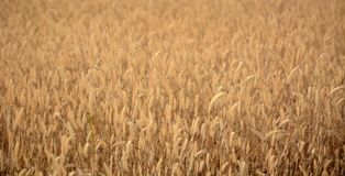 Oreilles de fond d'herbe sèche Photographie stock libre de droits
