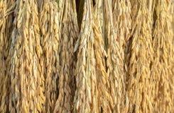 Oreilles de fond de riz non-décortiqué Images stock