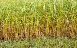 Oreilles de gisement de riz Images libres de droits