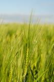 Oreilles de l'élevage de seigle et de blé Photographie stock