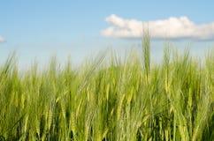 Oreilles de l'élevage de seigle et de blé Images libres de droits