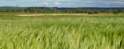 Oreilles de l'élevage de seigle et de blé Photographie stock libre de droits