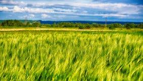 Oreilles de l'élevage de seigle et de blé Image stock