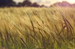 Oreilles de l'élevage de seigle et de blé Photos libres de droits