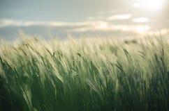 Oreilles de l'élevage de seigle et de blé Photo libre de droits