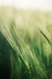 Oreilles de l'élevage de seigle et de blé Image libre de droits