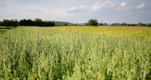 Oreilles de l'élevage de seigle et de blé Photos stock