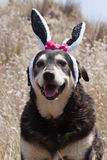 Oreilles de lapins de Pâques Photos stock