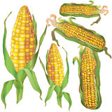 Oreilles de maïs lumineux et mûr Photo stock