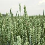 Oreilles de maturation vertes de blé Photographie stock