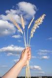 Oreilles de quatre types grains Image libre de droits