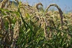 Oreilles de riz dans la rizière photos libres de droits