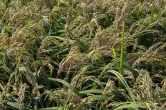 Oreilles de riz dans la rizière photographie stock