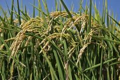 Oreilles de riz dans la rizière photographie stock libre de droits