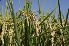 Oreilles de riz dans la rizière image stock