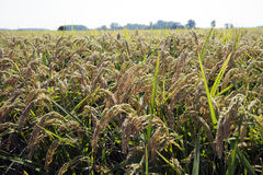 Oreilles de riz dans la rizière images stock