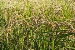 Oreilles de riz dans la rizière photo stock