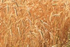 Oreilles de Rye Image libre de droits