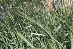 Oreilles de Rye dans un domaine Images stock