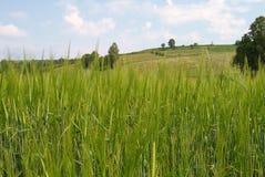 Oreilles des céréales Photo stock