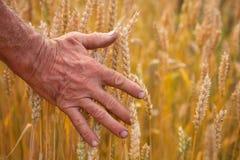 Oreilles et main de blé Images stock