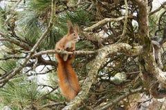 Oreilles et queue d'écureuil Photo stock