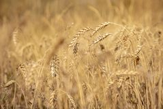 oreilles jaunes de blé dans le domaine image stock