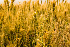 Oreilles jaunes de blé mûr sur le champ image libre de droits