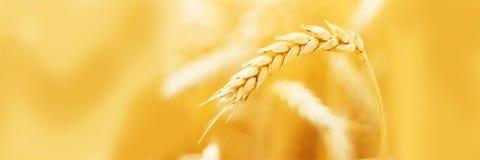Oreilles mûres de blé dans le domaine pendant la fin de récolte  Paysage d'été d'agriculture Scène rurale Copiez l'espace photos libres de droits