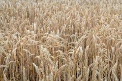 Oreilles mûres de blé de fin Photos libres de droits
