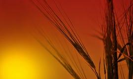 Oreilles mûres contre le ciel rouge Image stock