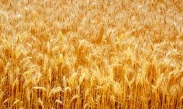 Oreilles mûres de champ de blé image libre de droits