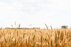 Oreilles mûres de champ de blé photographie stock libre de droits