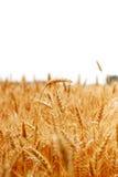 Oreilles mûres de champ de blé photos libres de droits