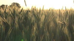 Oreilles ou céréales de blé banque de vidéos