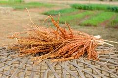 Oreilles sèches de rizière Photos libres de droits
