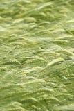 Oreilles vertes d'orge en juin Photo libre de droits