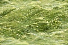 Oreilles vertes d'orge en juin Image stock