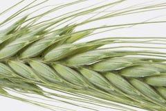 Oreilles vertes de blé Photographie stock