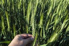 Oreilles vertes de blé, blé cultivé dans le domaine, agriculture de blé, blé non mûr, photos de paysage de blé Photos stock