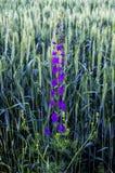 Oreilles vertes de blé, blé cultivé dans le domaine, agriculture de blé, blé non mûr, photos de paysage de blé Image stock