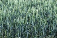 Oreilles vertes de blé, blé cultivé dans le domaine, agriculture de blé, blé non mûr, photos de paysage de blé Photographie stock