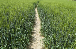 Oreilles vertes de blé, blé cultivé dans le domaine, agriculture de blé, blé non mûr, photos de paysage de blé Images stock
