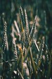 Oreilles vertes de blé sur le champ ensoleillé Photos libres de droits