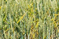 Oreilles vertes de blé, fond d'agriculture Image libre de droits